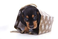 Purebred puppy dachshund Royalty Free Stock Image