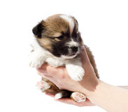 Purebred puppy (dog) in human hands Stock Photography