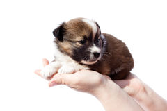 Purebred puppy (dog) in human hands Royalty Free Stock Photo