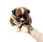 Purebred puppy (dog) in human hands Royalty Free Stock Photos