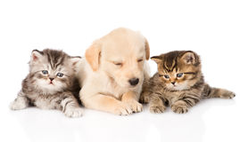 Purebred puppy dog and two british kittens lying in front. isolated Stock Photos