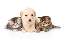Purebred puppy dog and two british kittens lying in front. isolated Royalty Free Stock Photos