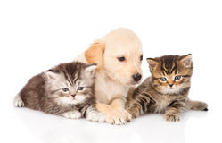 Purebred puppy dog and two british kittens lying in front. isolated Stock Photo