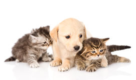 Purebred puppy dog and two scottish kittens lying in front. isolated Stock Photos