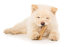Purebred, puppy eats bone isolated Stock Photography