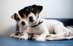 Purebred puppy jack russell terrier playing with his mother at home on the couch. stock image