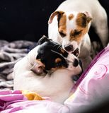 Purebred puppy jack russell terrier playing with his mother at home on the couch. royalty free stock images
