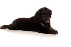 Purebred puppy labrador Royalty Free Stock Photo
