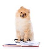 Purebred puppy  read book Stock Image