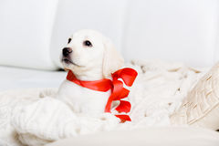 Purebred puppy with red ribbon on his neck Stock Photo