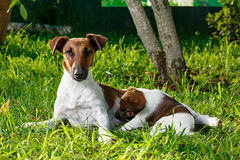 Purebred puppy smooth-haired fox terrier, drinking mother`s milk. The family dogs in the park outdoors on green grass. Hunting dog Royalty Free Stock Photos