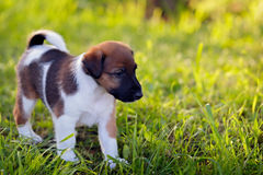 Purebred puppy smooth-haired fox terrier, walks in the park outdoors, on the green grass. Hunting dog. royalty free stock images