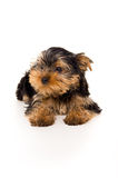 Purebred puppy yorkshire terrier Royalty Free Stock Image