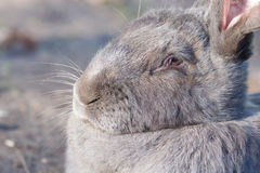 Purebred rabbit Belgian Giant resting outside in the sun Stock Photo