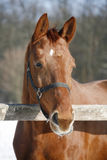 Purebred racehorse looking over winter corral fence. Close-up of a young bay horse in winter corral rural scene stock photos