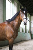 Purebred racehorse posing for camera in empty riding hall. Gentle racehorse looking at the camera in the  riding hall Stock Photo