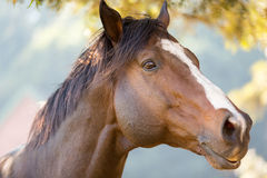 Purebred racing horse Stock Photography