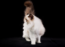 Purebred ragdoll cat Royalty Free Stock Photography