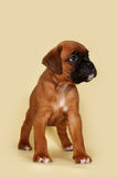 Purebred red boxer puppy standing in the show position. Purebred red boxer puppy stands in the exhibition position on a yellow background Stock Photo