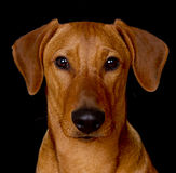 Purebred red German Pinscher. Moody close up portrait of a young male red German Pinscher on black background Royalty Free Stock Photography