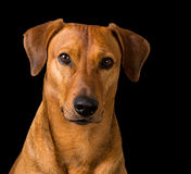 Purebred red German Pinscher. Portrait of a beautiful young purebred red German Pinscher looking seriously at the camera, shot over black background Royalty Free Stock Photography