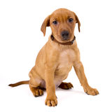 Purebred red German Pinscher puppy Royalty Free Stock Photography