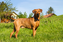 Purebred red German Pinscher. A strong, young, purebred red German Pinscher dog standing proudly in the meadow in front of a farm in rural southern Germany Stock Photos
