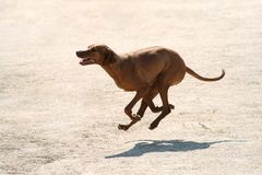 Purebred Rhodesian ridgeback dog without leash outdoors in the nature on a sunny day stock photography