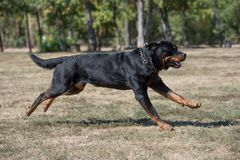Purebred Rottweiler dog outdoors in the nature  on a summer day. Stock Photo