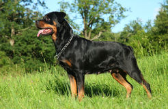 Purebred rottweiler on green grass Royalty Free Stock Photo
