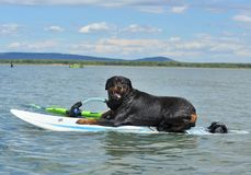 Rottweiler on windsurf. Purebred rottweiler laid down on windsurf in the sea stock photos