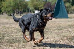 Purebred Rottweiler pies outdoors w naturze na letnim dniu Zdjęcia Royalty Free