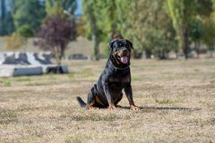 Purebred Rottweiler pies outdoors w naturze na letnim dniu Zdjęcie Stock