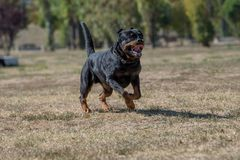 Purebred Rottweiler pies outdoors w naturze na letnim dniu Fotografia Royalty Free