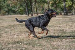 Purebred Rottweiler pies outdoors w naturze na letnim dniu Obrazy Stock