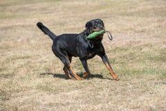 Purebred Rottweiler pies outdoors w naturze na letnim dniu Obraz Royalty Free