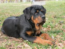Purebred Rottweiler pies outdoors w naturze na letnim dniu Obrazy Royalty Free