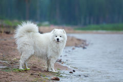 Purebred samoyed dog standing around water on the seashore. Stock Images
