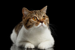 Purebred Scottish Straight Male Cat Lying on Isolated Black Background Stock Photography