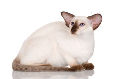 Purebred siamese kitten Stock Images