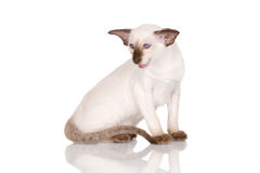 Purebred siamese kitten Royalty Free Stock Photo