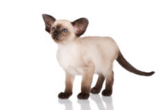 Purebred siamese kitten Royalty Free Stock Photos