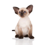 Purebred siamese kitten Stock Photo