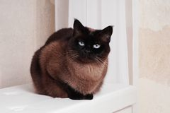 Purebred siamese or thai cat royalty free stock photos
