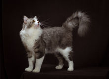 Purebred Siberian cat on dark brown background Stock Image