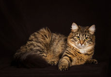 Purebred Siberian cat Royalty Free Stock Photo
