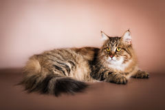 Purebred Siberian cat lying on brown background Stock Images