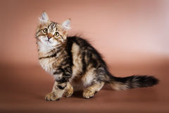 Purebred Siberian cat sitting on brown background Stock Photography