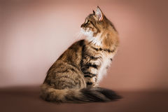 Purebred Siberian cat sitting on brown background Stock Images