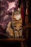 Purebred Siberian cat sitting on a chair Royalty Free Stock Photography